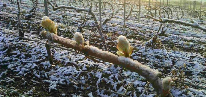 Frost in Champagne Pose Risk of Shortage | Champagne News