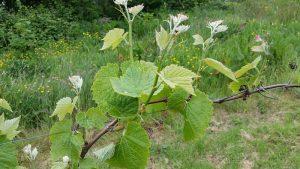 Viticulture Ireland